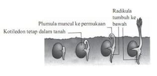 Tipe perkecambahan-hipogeal