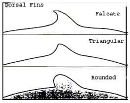 Tipe-tipe sirip dorsal