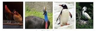 ayam, kasuari, pinguin, bebek, angsa