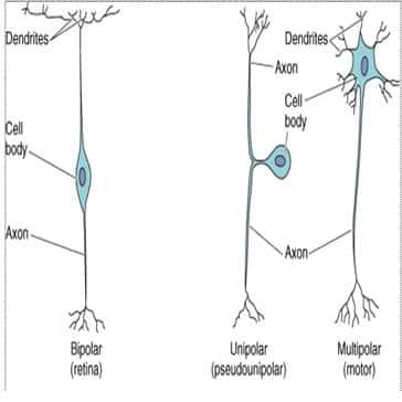 ganglion radik dorsal nervus spinalis