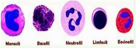 jenis-leukosit