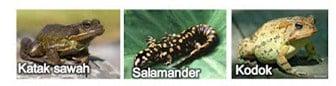 katak sawah, salamander, kodok