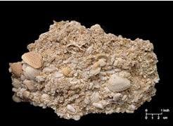 Batuan Sedimen Batu Kapur Fosil