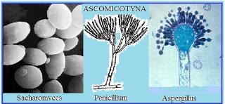 Contoh Ascomycota