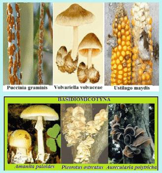 Contoh Basidiomycota