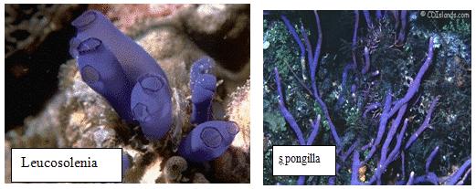 Contoh spesies Porifera