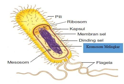 Gambaran Umum Bakteri