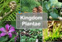 Kingdom Plantae - Pengertian, Ciri, Reproduksi dan Klasifikasi