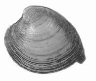 Pelecypoda
