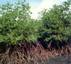 Pohon Bakau
