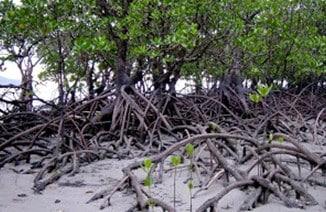 Pohon Tanjang