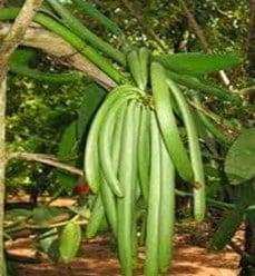 Pohon Vanili