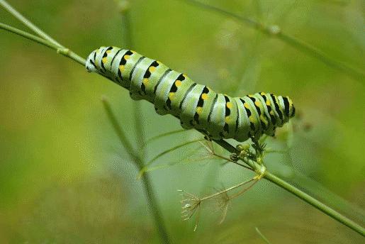 Proses Larva (Ulat)