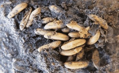 Proses Telur Belalang