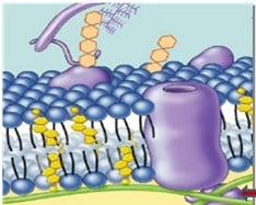Protein-peripheral