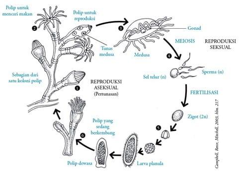 Reproduksi-dan-daur-hidup-Coelenterata