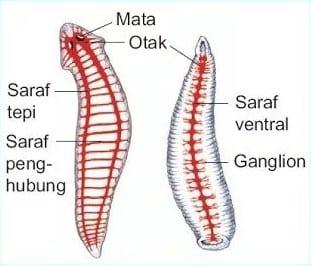 Sistem Ekskresi pada Cacing Pipih