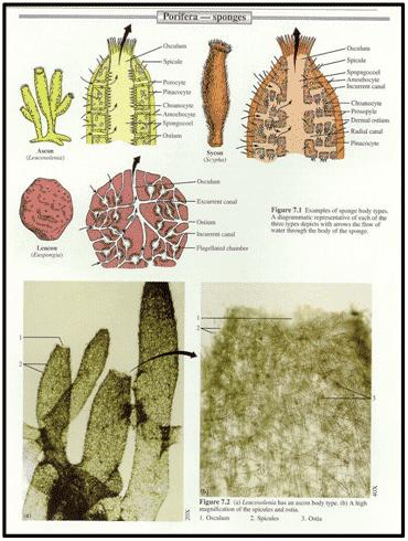 Sistem Saluran air Porifera