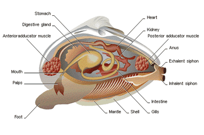 Struktur Tubuh Mollusca
