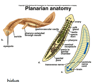 Struktur Tubuh Platyhelminthes