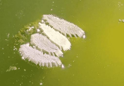 Telur Nyamuk