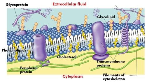komponen-penyusun-Membran-sel