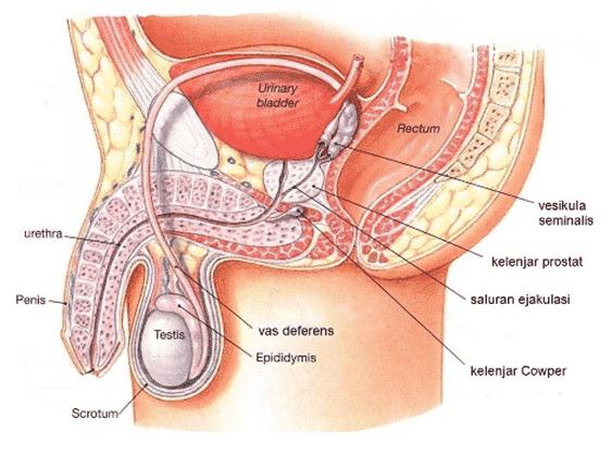 Sistem Alat Reproduksi Pria Bagian Fungsi Hormon Gangguan