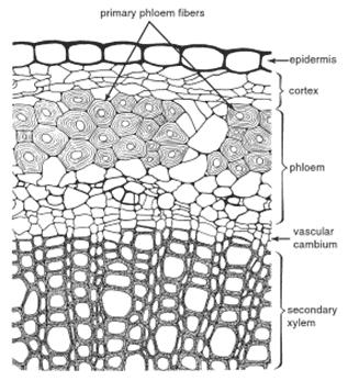 Bagian transverse pada batang rami