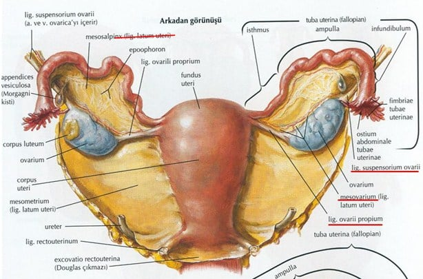 Letak dan Ukuran Uterus
