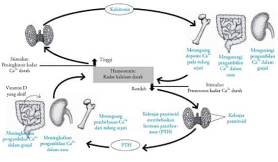 Metabolisme-Kelenjar-Paratiroid