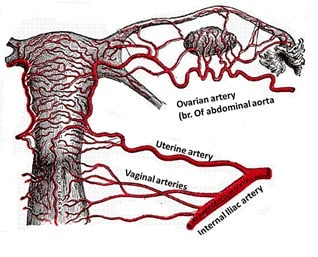 Pembuluh Darah Uterus