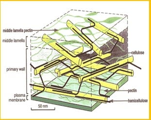 Struktur-Dinding-Sel-Tumbuhan