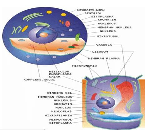Ultrastruktur Sel Hewan,Ultrastruktur Sel Tumbuhan