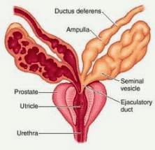 Vesikula Seminalis (Tempat Penampungan Sperma)