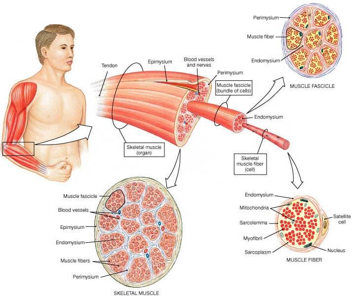 Gambar Jaringan Otot