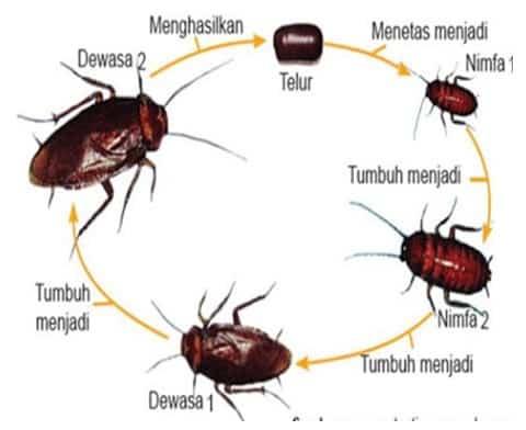 Metamorfosis Hemimetabola pada Kecoa