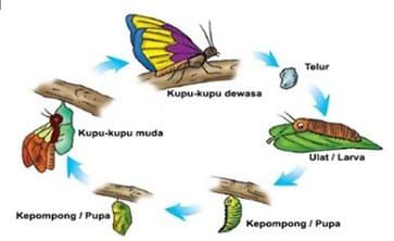 Metamorfosis-Kupu-kupu