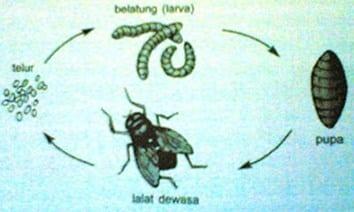 Metamorfosis-Lalat