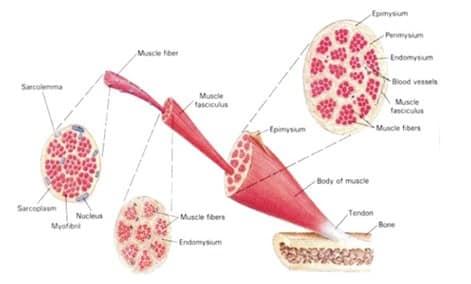 Jaringan Otot Pengertian Struktur Gambar Jenis Fungsi
