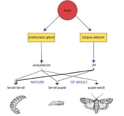 Pengendalian hormon ecdyson dan juvenille