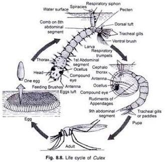 Siklus Hidup Nyamuk Culex