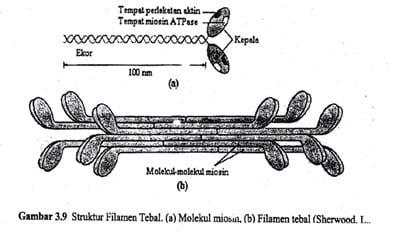 Sruktur Miosin