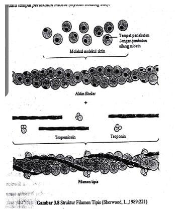 Struktur Aktin
