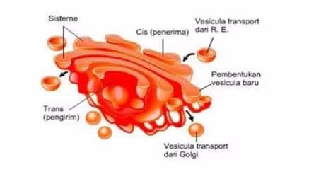 Tumbuhan Badan Golgi