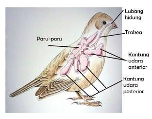 Alat Pernapasan Burung
