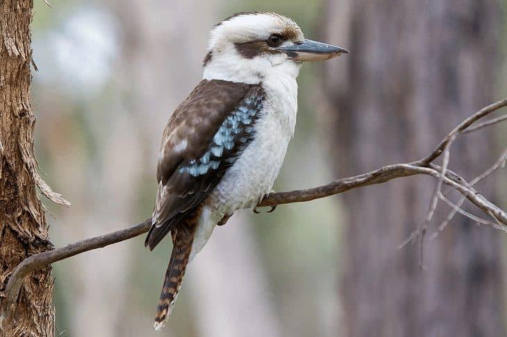 Burung-Kukabura