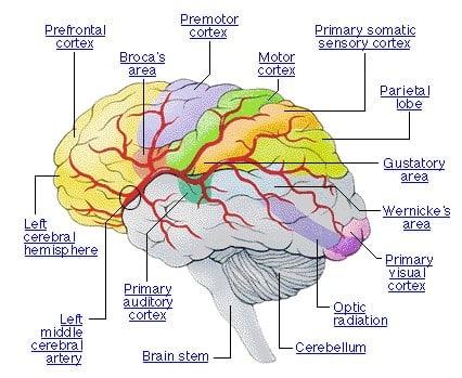 Fungsi-Bagian-bagian-Otak