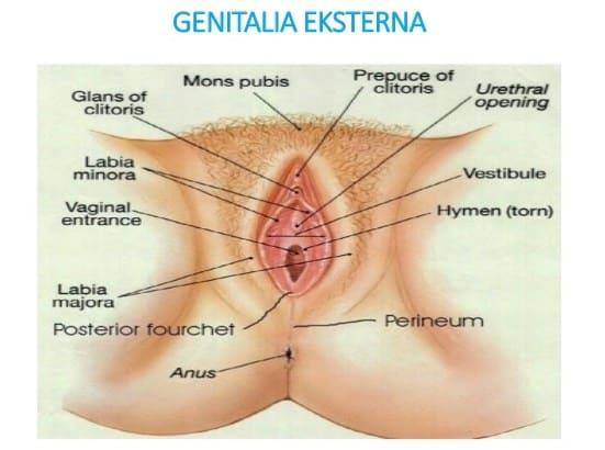 Genitalia-Eksternal