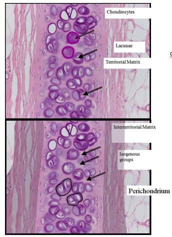 Komponen Penyusun Tulang Rawan