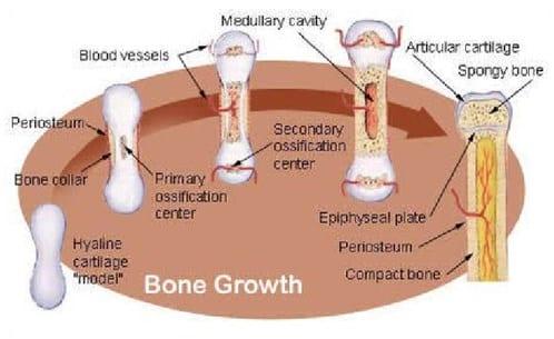 Mekanisme-Pertumbuhan-Tulang